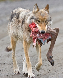 Wolf_with_Caribou_Hindquarter